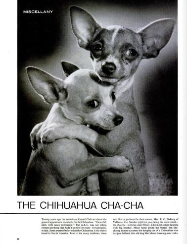 Chihuahua Cha-Cha (image)